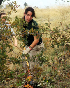 Clearing Himilayan Blackberry to make way for young oaks