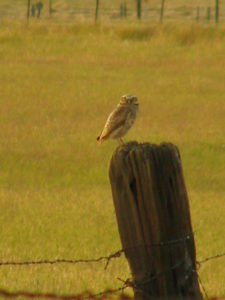 Pictured above is one of the burrowing owls nesting at PLT's Swainsons Grassland Preserve.
