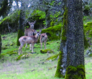 Taylor Ranch Preserve is part of an important north-south migration corridor between Coon Creek and the Bear River for a variety of wildlife, including blacktail deer.