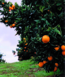 Mandarins are ready to be picked in November, December and January.