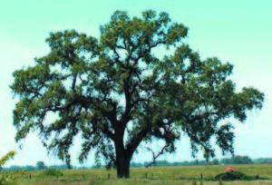 tree at hofman